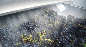 cooled tunnel grapes for the wine industry