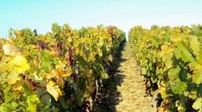 landscape of french vine - one of our custommer